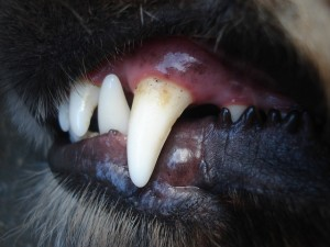 ed3cb20d2ce91c72d252440dee4a5b97e772e5d611b0184290_640_dog-dental